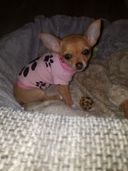 Chihuahuawelpen Abgabebereit
