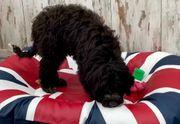 Portugiesischer Wasserhund Junghunde vom seriösem