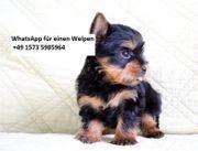https lionheartwelpen com product-category yorkshire-terrier-welpen-zuchter