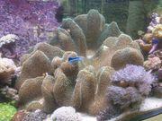 Pilzleder Koralle sehr groß