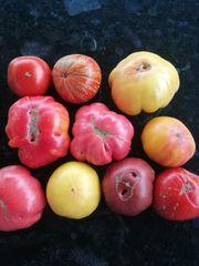 Tomatensetzlinge in BIO Qualität