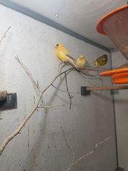 Verschiedene Kanarienvögel