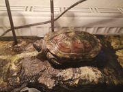 chinesische Dreikil Schildkröte mit Aquarium