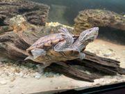 2 Wasserschildkröten