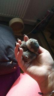 3 kleine Hamsterkinder suchen ein