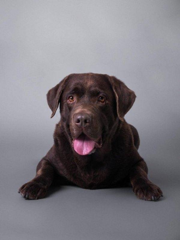 Deckrüde freundlicher brauner Labrador sucht