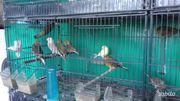 Ich verkaufe schöne Kanarienvögel 2019