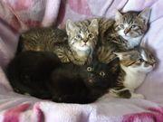 niedliche Katzenbabys ab sofort abzugeben