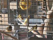 Verkaufe 17 junge Kanarienvögel