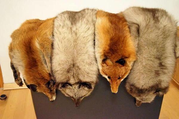 3 Fuchskrägen - Beste Qualität