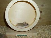 Junges Zwerghamster Weibchen kleiner Hamster