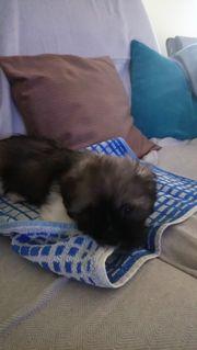 Shih Tzu Yorkshire Terrier Mix