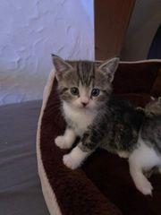BKH kittens mix