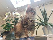 Reinrassige sibirische Katze mit Stammbaum