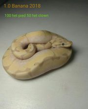 1 0 Königspython Banana 100