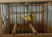 Kanarienvogel Harzer Roller Gesangskanarienvogel Hahn