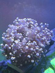 Meerwasser Korallen Euphyllia LPS