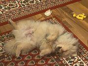 Pomeranian Rüde 6 Monate alt