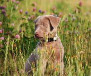 Labrador Welpen in silber und
