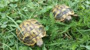 Zwei Griechische Landschildkröten geschlüpft 2018