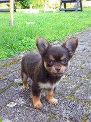 Typvolle Chihuahuawelpen - Rüden - in Langhaar