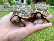 Griechische Landschildkröten Nachzuchten 2019