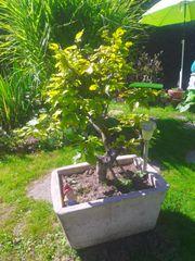 Pflanzen Form-Schnitt Bonsai