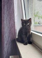 Baby Katze BKH