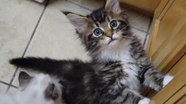 Süße Maine Coon Kitten mit