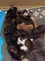 Maine Coon EKH Mix Kitten