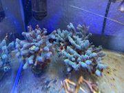 SPS Korallen Meerwasser Ableger