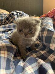 niedliche BKH Kitten