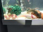 Axolotl Nachwuchs in liebevolle Hände