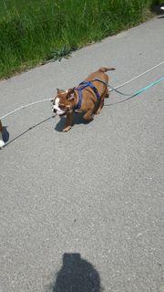 Englische Bulldogge Welpe Rüde
