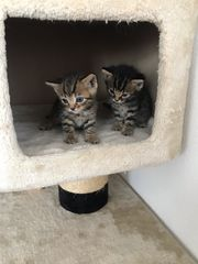 Britisch Kurzhaar Kitten abzugeben