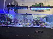 Korallen günstig abzugeben