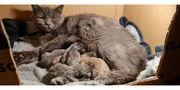 Reinrassige BKH Katzen
