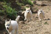 Siberian Husky Welpen whatsapp 015211447907
