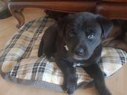 Labrador Welpen Husky Mix Alle