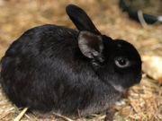 Zwergwidder Zwergkaninchen Kaninchen weiblich ca