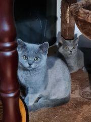 Bkh Kitten Ab Sofort