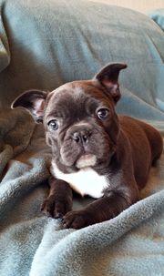 Französische Bulldoggen Welpen Blau - Ein