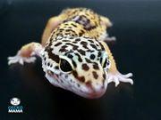 Leopardgecko Wildtyp NZ 2021 ID