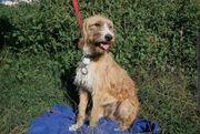 Bezaubernder Familienhund Junghund 1 Jahr