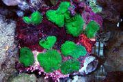 Meerwasser Scheibenanemonen grün Rhodactis sp