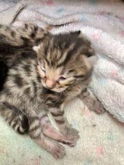 Bengalen Mix Kitten
