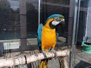 Handzahme Papageien - kaufen & verkaufen