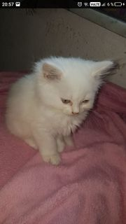 Katze Perser Babys