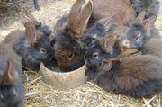 Kaninchen Bartkaninchen