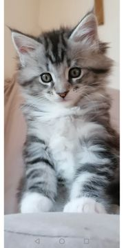 Zuckersüße Maine Coon Kitten